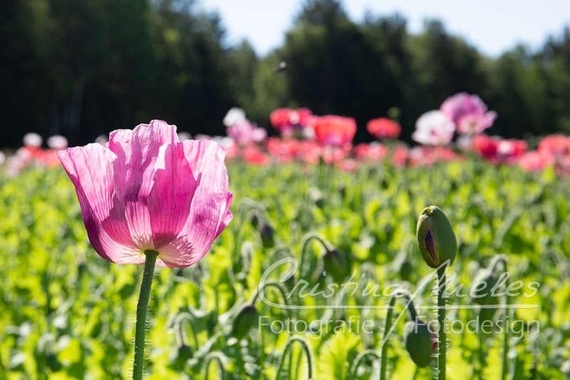 Eine rosa Graumohnblüte im Sonnenlicht