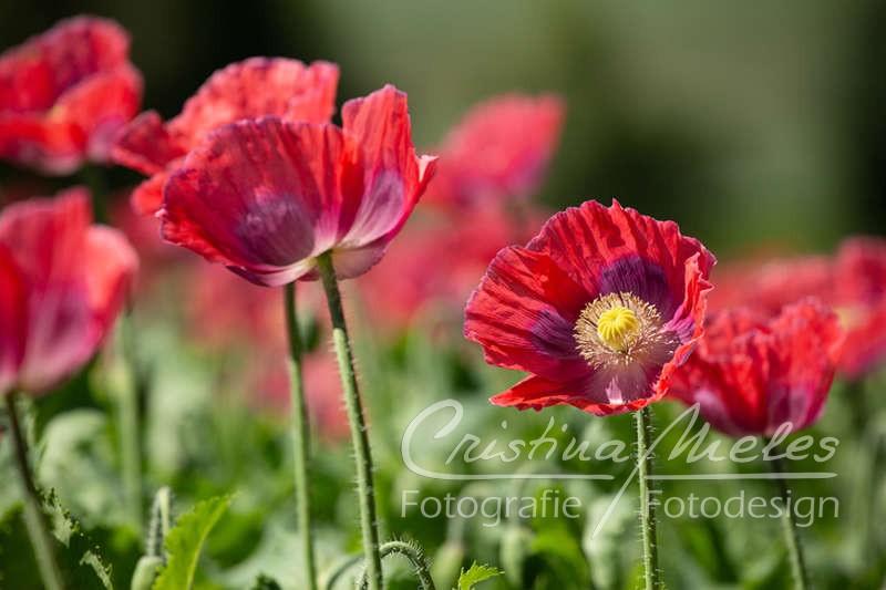 Rote Mohnblumen in ihrer Pracht