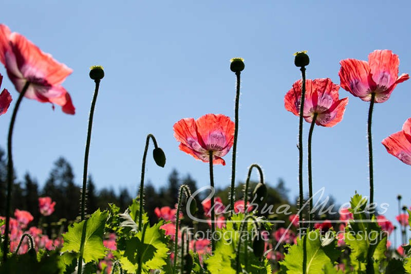 Mohnblumen ragen in den blauen Himmel