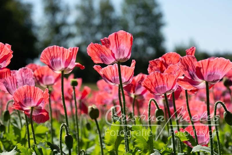 Viele rosarote Mohnblumen auf einem Feld im Waldviertel