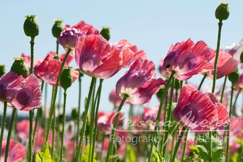Die zarten Mohnblumen neigen ihre zarten Blütenblätter im Wind