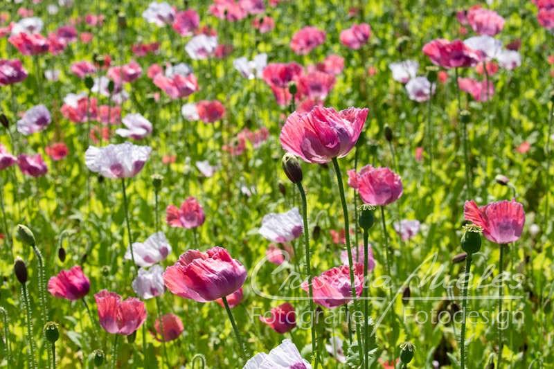Ein Feld mit weißen und rosaroten Graumohnblumen