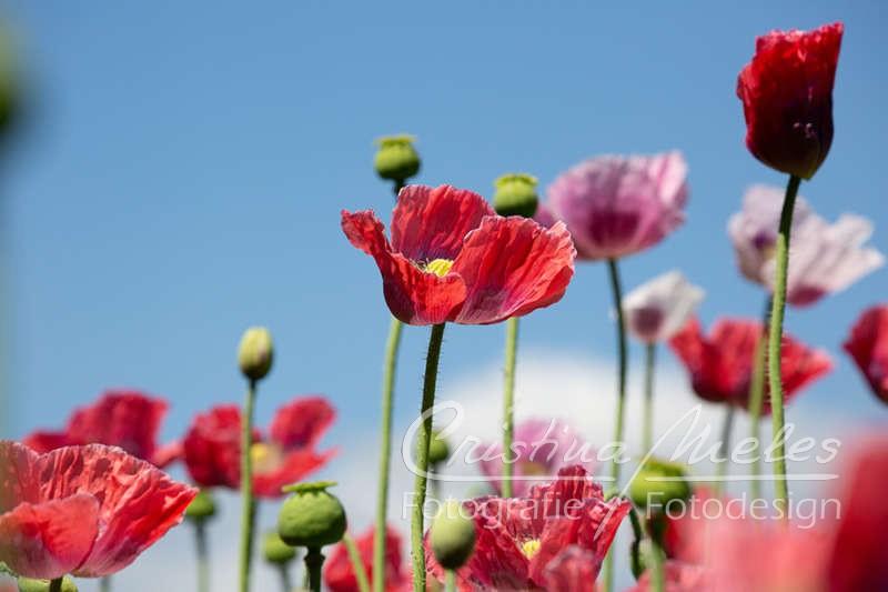 Mohnblüten in verschiedenen Farben vor dem blauen Himmel