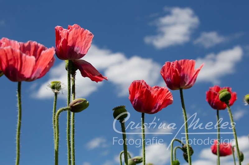 Kontrastreiche Abbildung von roten Mohnblumen vor Kulisse eines blauen Himmels mit vereinzelten weißen Wölkchen